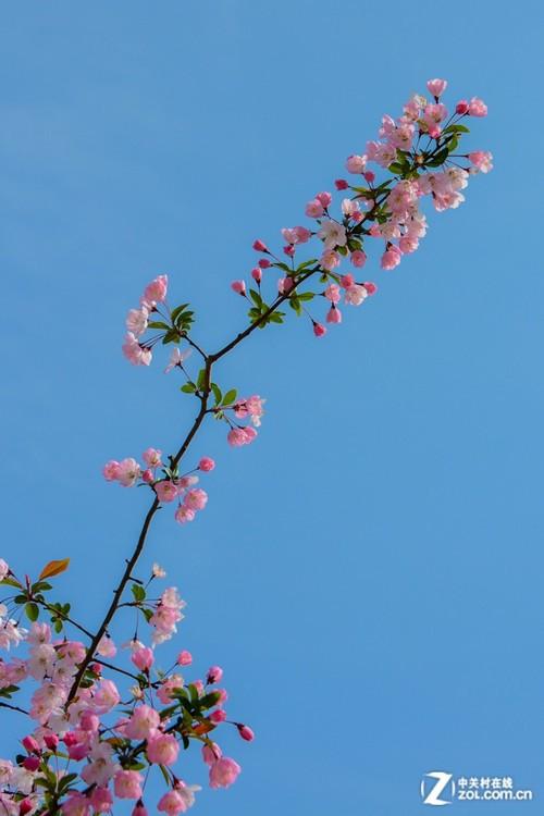 樱花树枝头
