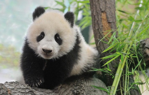 拍不了彩色照片 国宝大熊猫的萌照合集