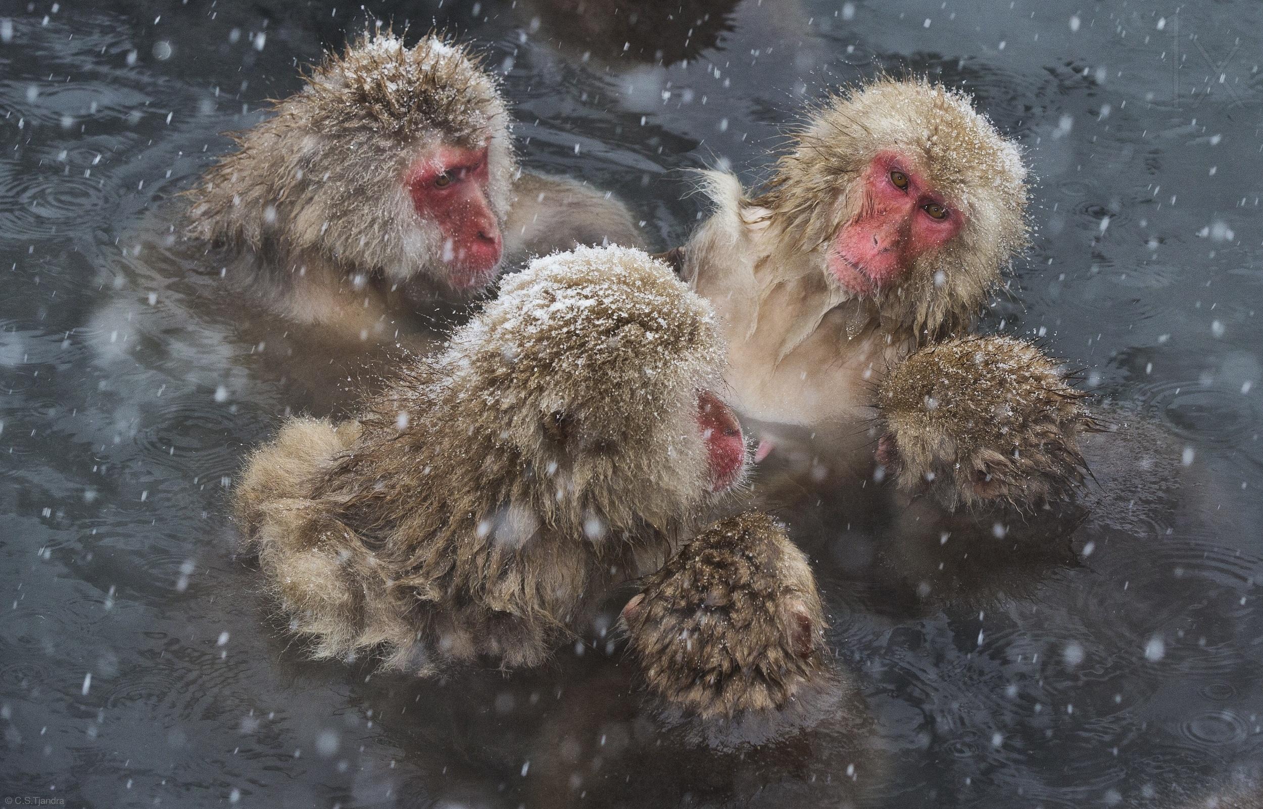 猴子泡温泉抓头发gif分享展示图片