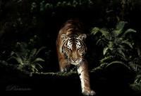 野性之美 大型猫科动物的精彩照片