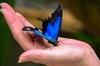大C游世界 澳大利亚蝴蝶园中的蓝蝴蝶