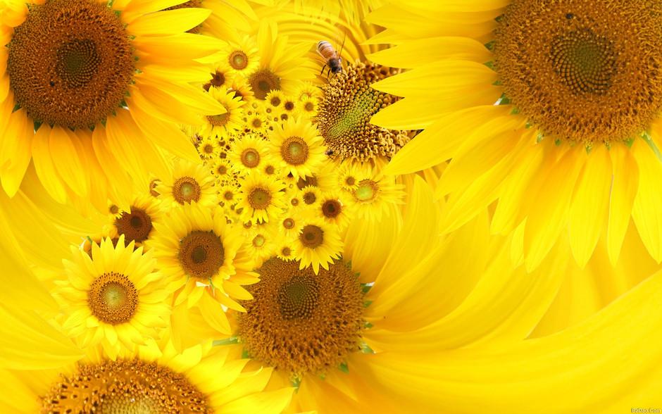 [图赏]高清大屏风景壁纸 向日葵花摄影